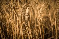 金黄成熟的麦子图片(10张)