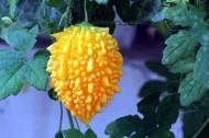 金铃子图片(10张)