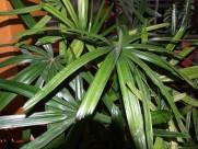 粗棕竹植物图片(6张)