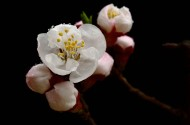 山杏花图片(14张)