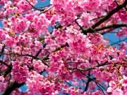 樱花图片(22张)
