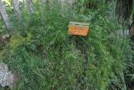 天冬植物图片(1张)