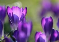 紫色美丽的番红花图片(11张)