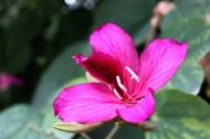 紫荆花图片(19张)