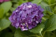 绣球花图片(12张)