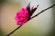 春风里盛开的桃花图片(13张)