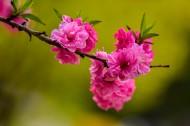 桃花图片(8张)