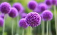 清新美丽的葱花图片(20张)