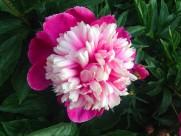 粉色芍药花图片(5张)