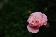 粉色月季花图片(7张)