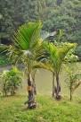 棍棒椰子植物图片(1张)