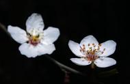 白色梅花图片(6张)