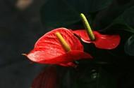 火红的红掌花图片(9张)
