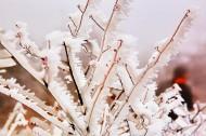 春天冰雪下坚强的嫩芽图片(9张)