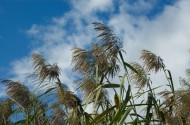 漂亮的芦苇丛图片(15张)