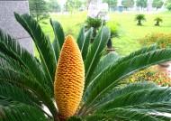 刺叶苏铁植物图片(6张)