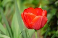 各种颜色的郁金香图片(10张)