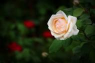 娇艳的月季花图片(12张)
