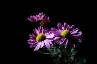 黑色背景雏菊图片(12张)