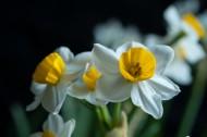 洁白的水仙花图片(7张)