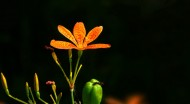 漂亮的射干花图片(12张)