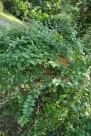 硬枝老鸦嘴花朵图片(1张)