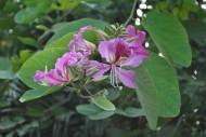 红花羊蹄甲图片(3张)