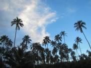 一小片椰树林图片(14张)