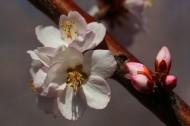 杏花盛开图片(13张)