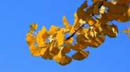 蓝天下的金黄树叶图片(8张)