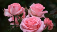 粉红色玫瑰花图片(6张)