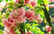 灿烂樱花图片(8张)
