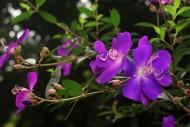 巴西野牡丹花朵图片(6张)