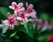 小巧锦带花图片(10张)