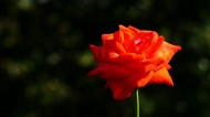 玫瑰图片(8张)