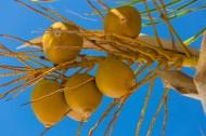 黄椰 / 椰子树图片(14张)