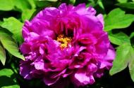 牡丹花图片(20张)