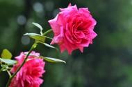玫瑰花图片(9张)