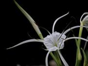 白色蜘蛛兰图片(12张)