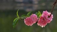 桃花图片(12张)