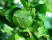 未成熟的柠檬图片(10张)