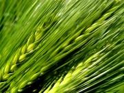 绿色未成熟的大麦图片(14张)