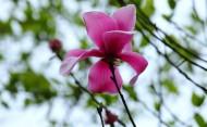 粉色辛夷花图片(8张)