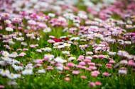 雏菊图片(12张)