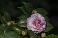山茶花图片(8张)