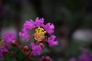 紫薇图片(10张)