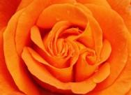 明亮的黄玫瑰图片(15张)