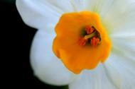 圣洁水仙花卉图片(18张)