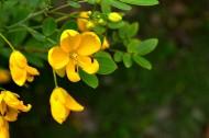 黄花槐图片(7张)