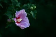 紫色木槿图片(12张)